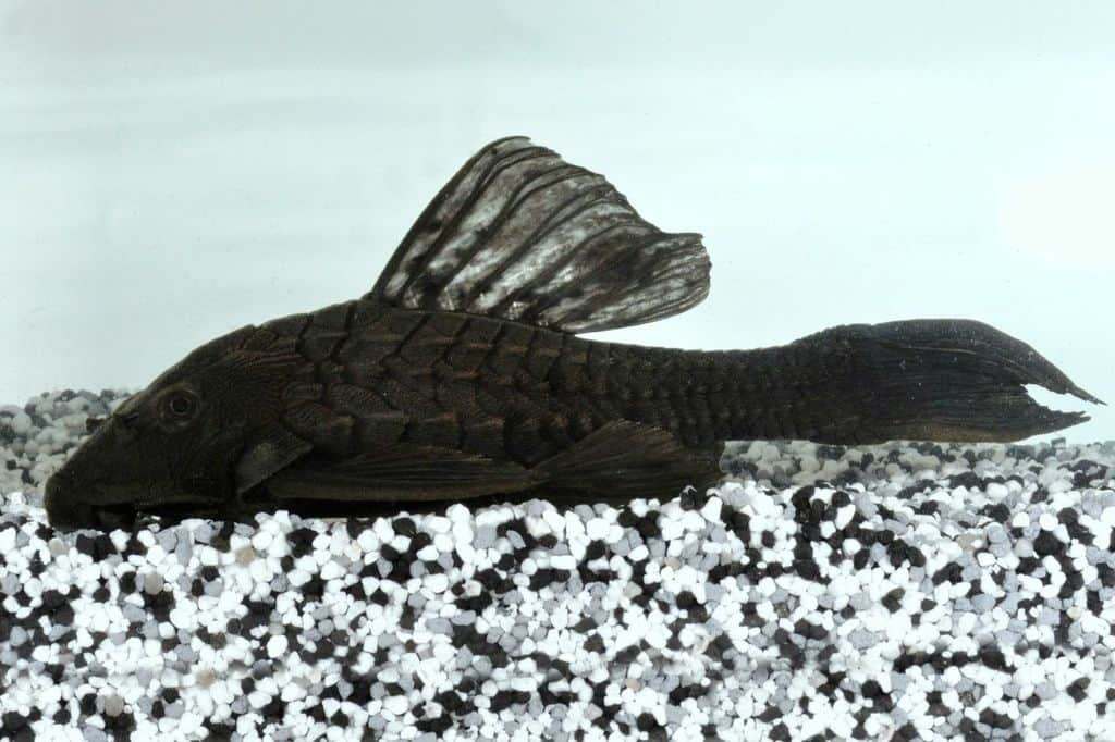 pseudorinelepis sp l152 wels my fish. Black Bedroom Furniture Sets. Home Design Ideas