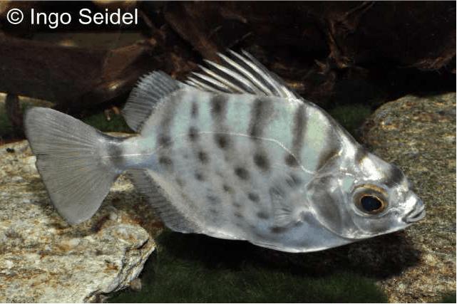 Selenotoca multifasciata - Punktierter Argusfisch 2