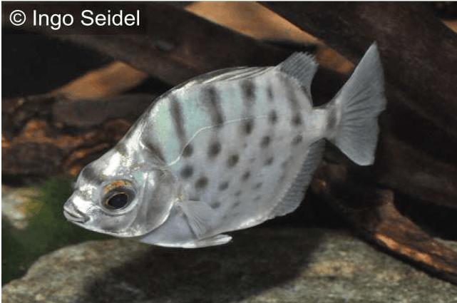 Selenotoca multifasciata - Punktierter Argusfisch 1