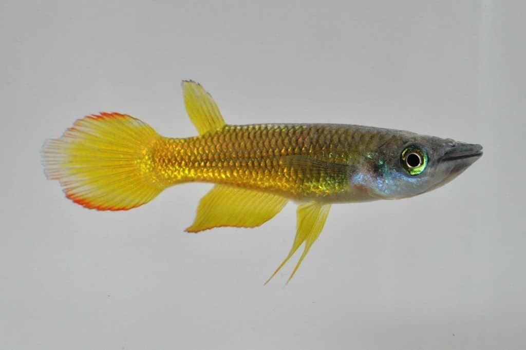 Aplocheilus lineatus - Streifenhechtling 1