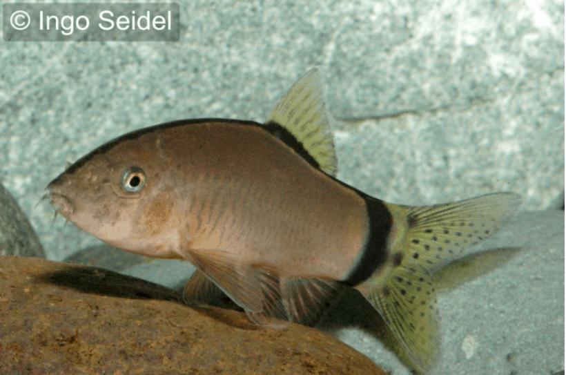 Yasuhikotakia morleti mausschmerle my fish for Robuste zierfische