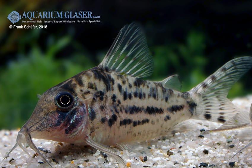 Corydoras blochi vittatus - Panzerwels 4
