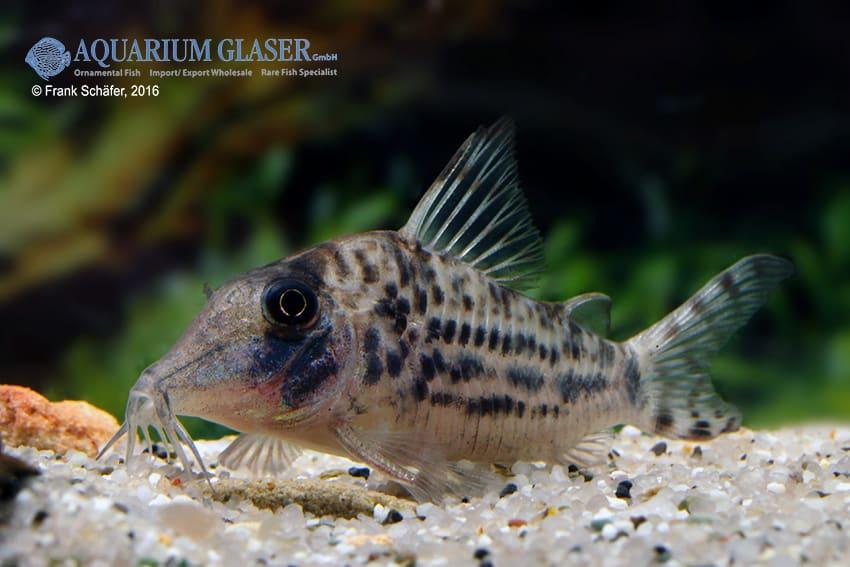 Corydoras blochi vittatus - Panzerwels 3