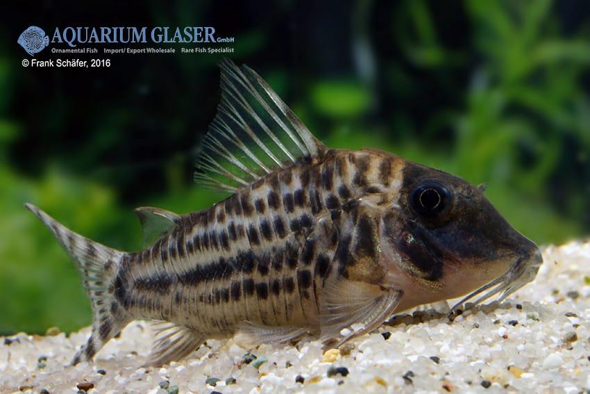 Corydoras blochi vittatus - Panzerwels 1