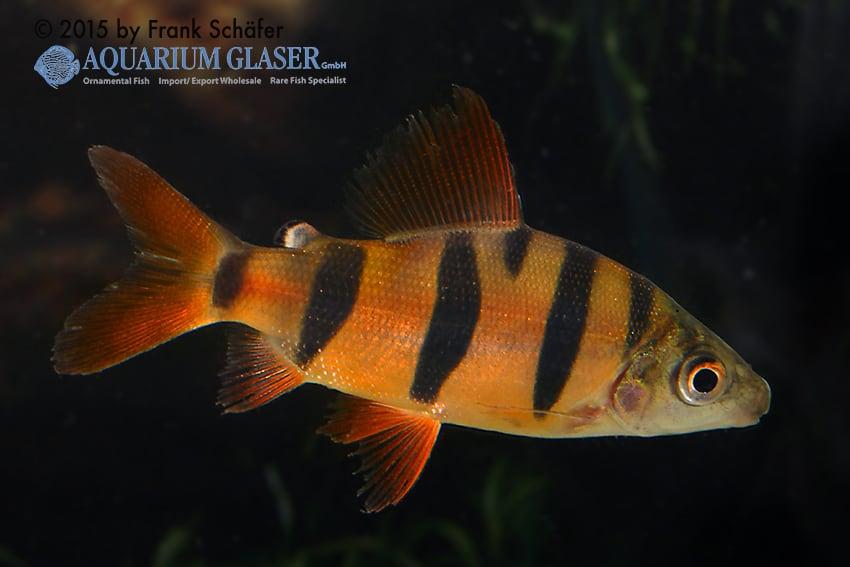Distichodus sefasciatus - Zebra Geradsalmler 1