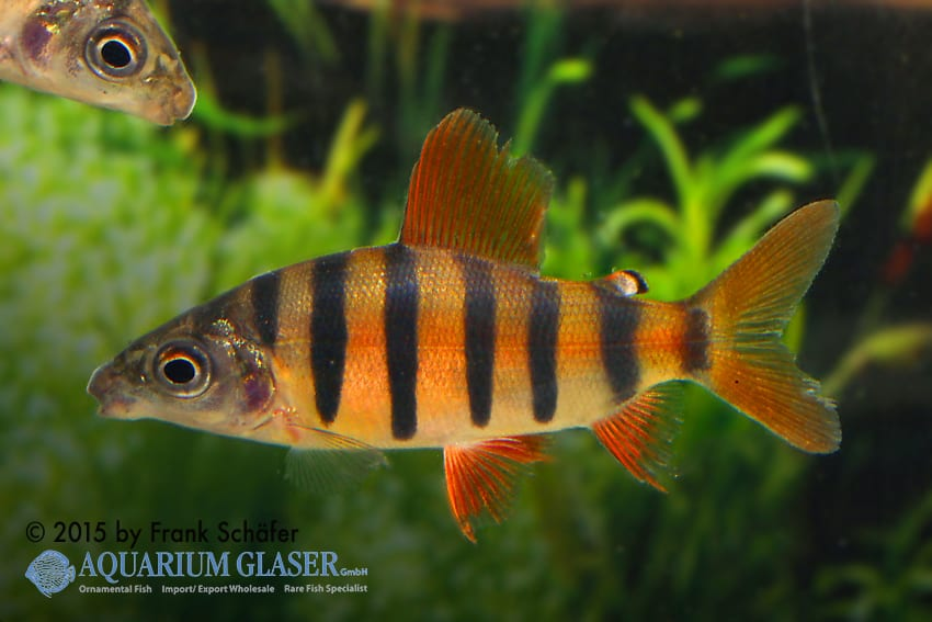 Distichodus sefasciatus - Zebra Geradsalmler 2