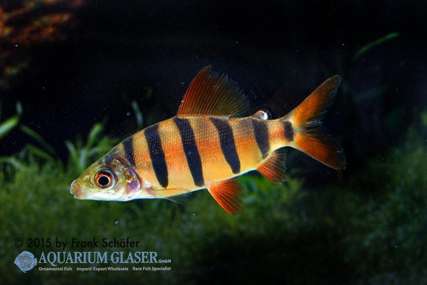 Distichodus sefasciatus - Zebra Geradsalmler 3
