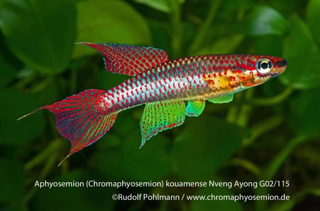 Aphyosemion (Chromaphyosemion) kouamense Kouamense - Zweistreifen Prachtkärpfling 2
