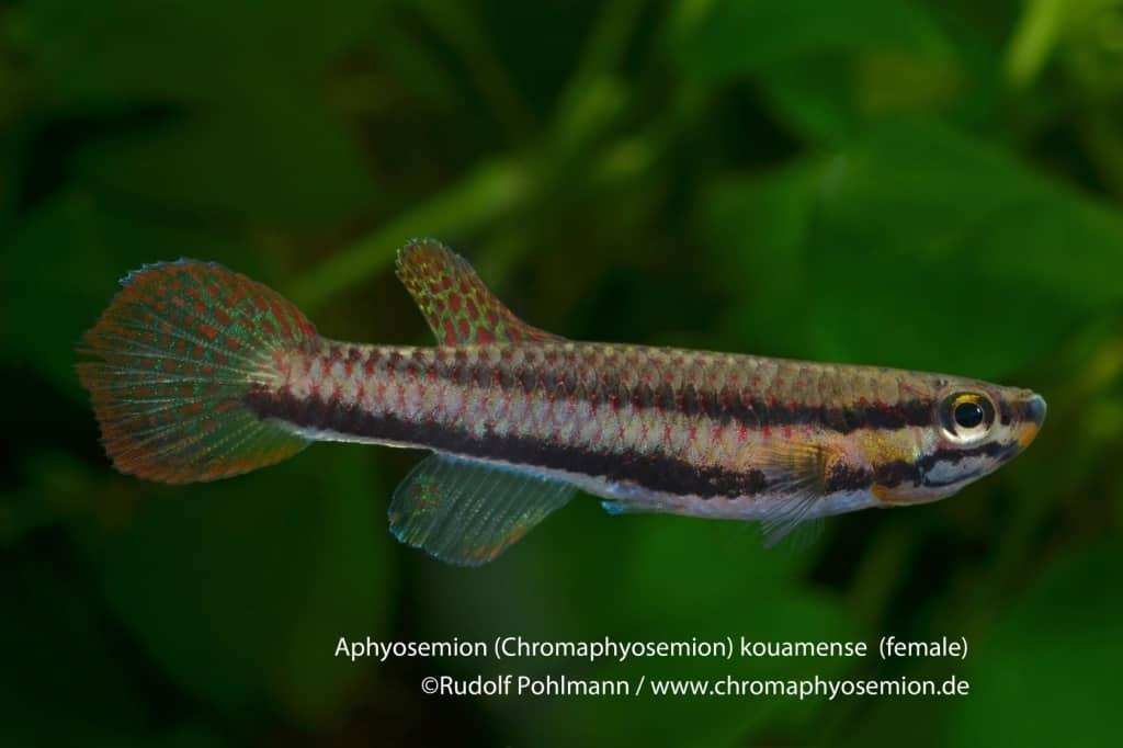 Aphyosemion (Chromaphyosemion) kouamense Kouamense - Zweistreifen Prachtkärpfling 4