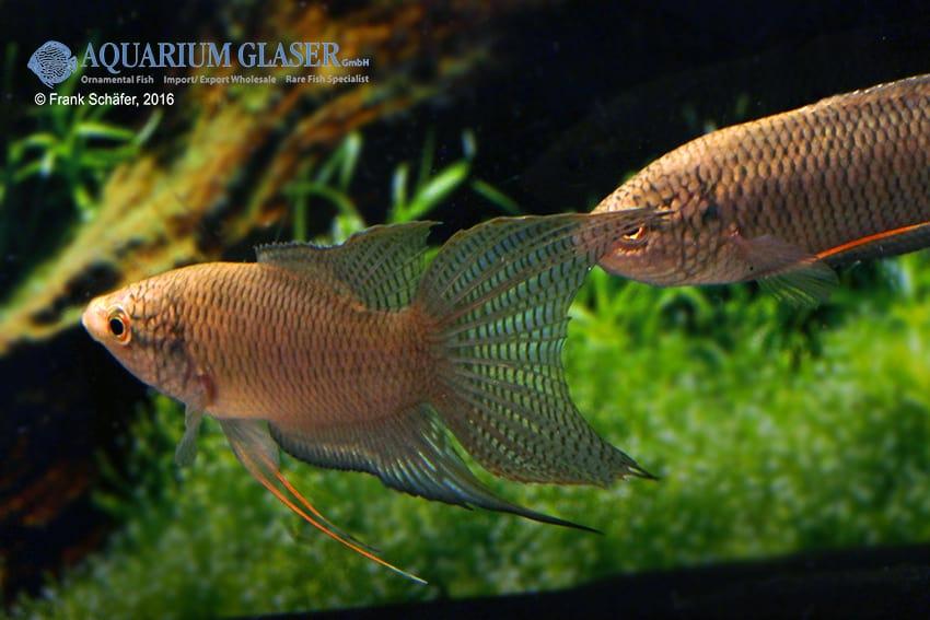Macropodus spechti - Schwarzer Paradiesfisch 1