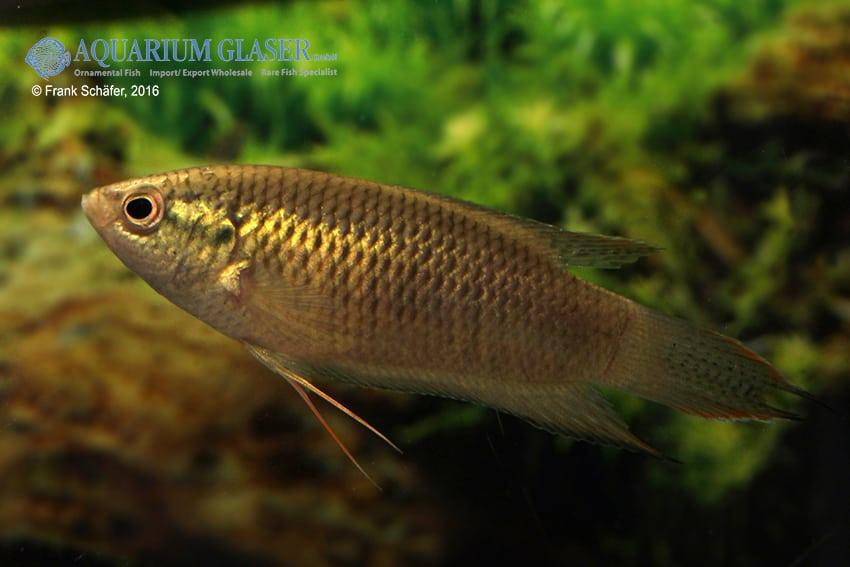 Macropodus spechti - Schwarzer Paradiesfisch 2