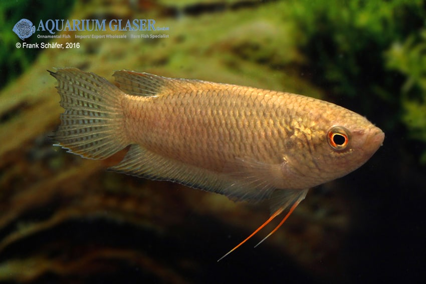 Macropodus spechti - Schwarzer Paradiesfisch 3
