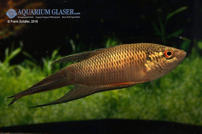Macropodus spechti - Schwarzer Paradiesfisch 4