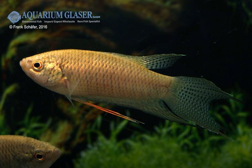Macropodus spechti - Schwarzer Paradiesfisch 5