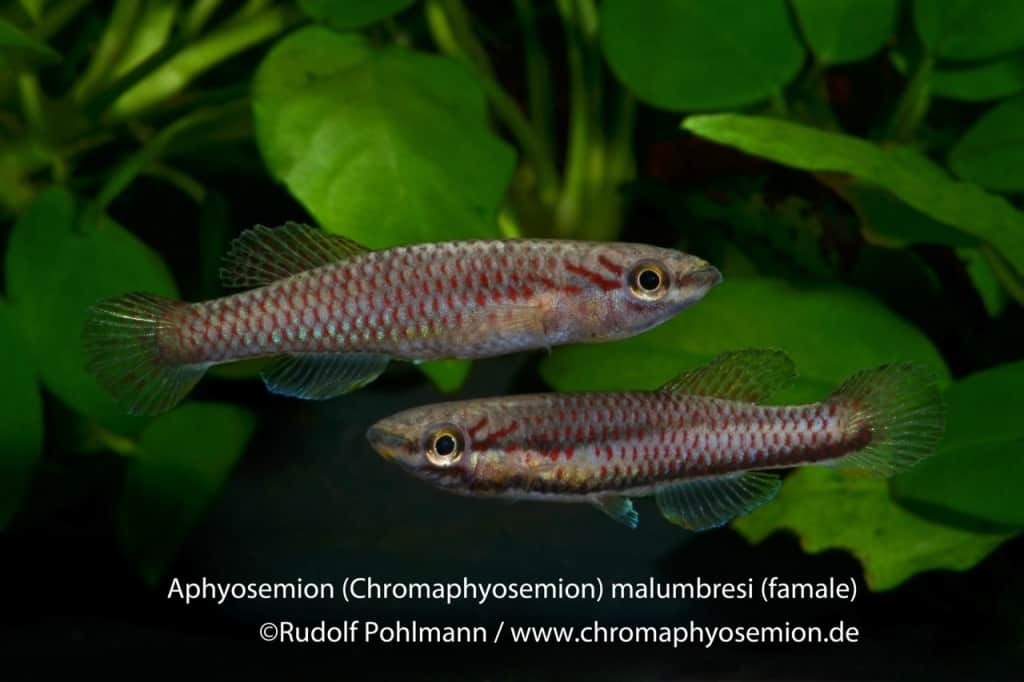 Aphyosemion (Chromaphyosemion) malumbresi – Malumbresi Zweistreifen Prachtkärpfling 2