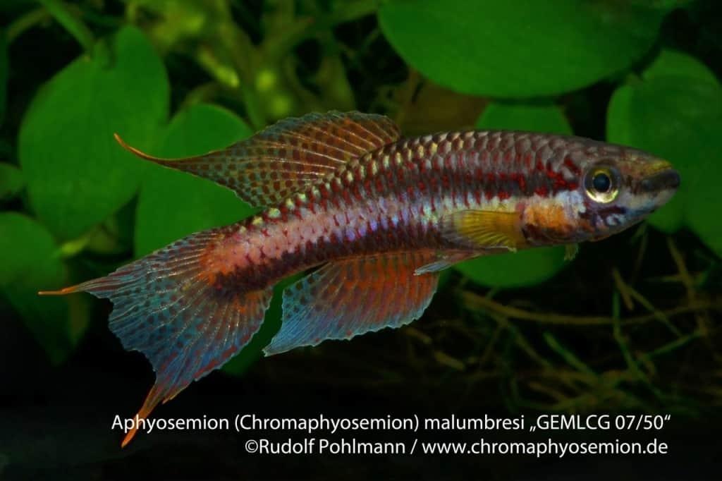 Aphyosemion (Chromaphyosemion) malumbresi – Malumbresi Zweistreifen Prachtkärpfling 3