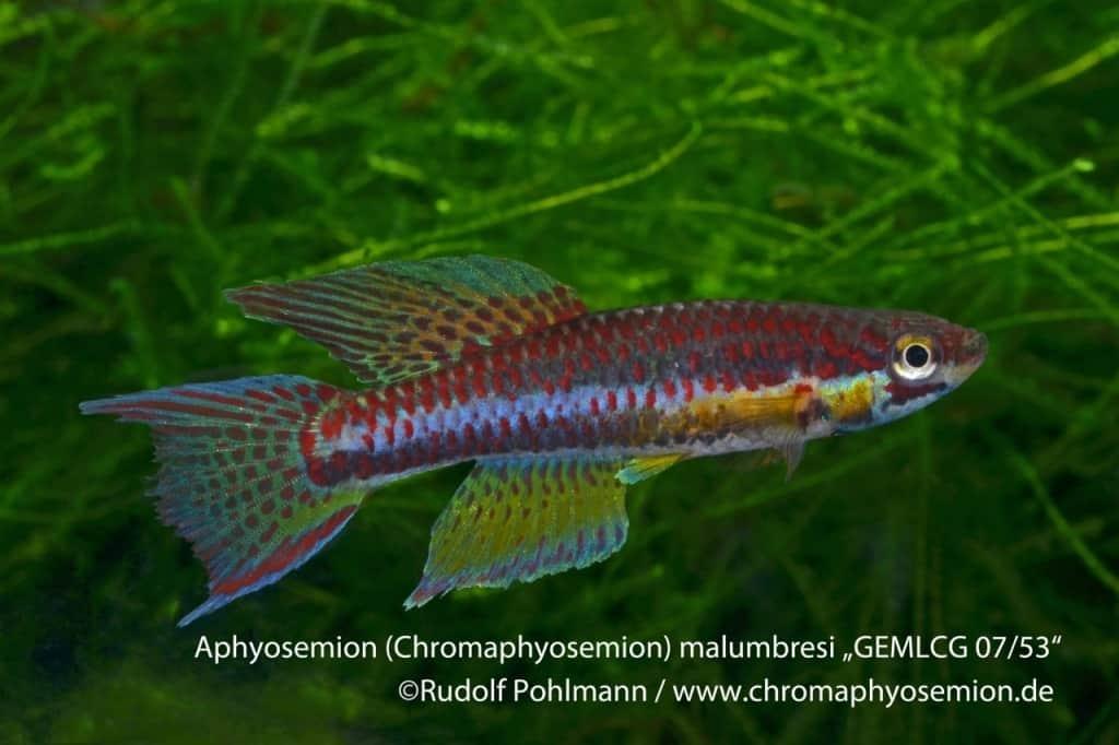 Aphyosemion (Chromaphyosemion) malumbresi – Malumbresi Zweistreifen Prachtkärpfling 4