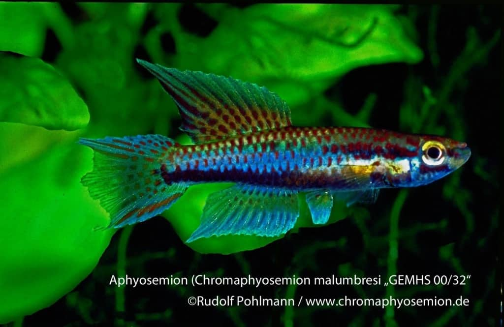 Aphyosemion (Chromaphyosemion) malumbresi – Malumbresi Zweistreifen Prachtkärpfling 6