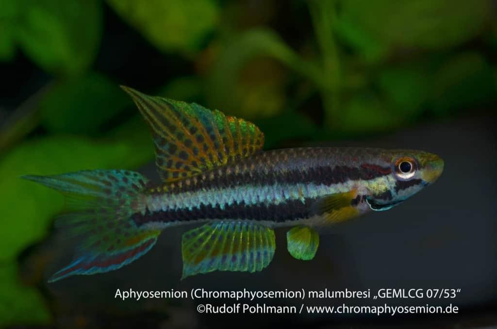 Aphyosemion (Chromaphyosemion) malumbresi – Malumbresi Zweistreifen Prachtkärpfling 7