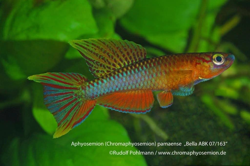 Aphyosemion (Chromaphyosemion) pamaense – Pamaense Zweistreifen Prachtkärpfling 3