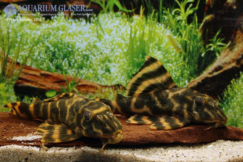 Peckoltia sp. (L 209) - Madeira-Peckoltia 4