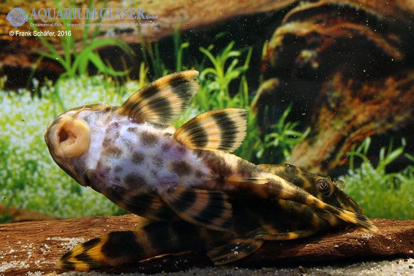 Peckoltia sp. (L 209) - Madeira-Peckoltia 5