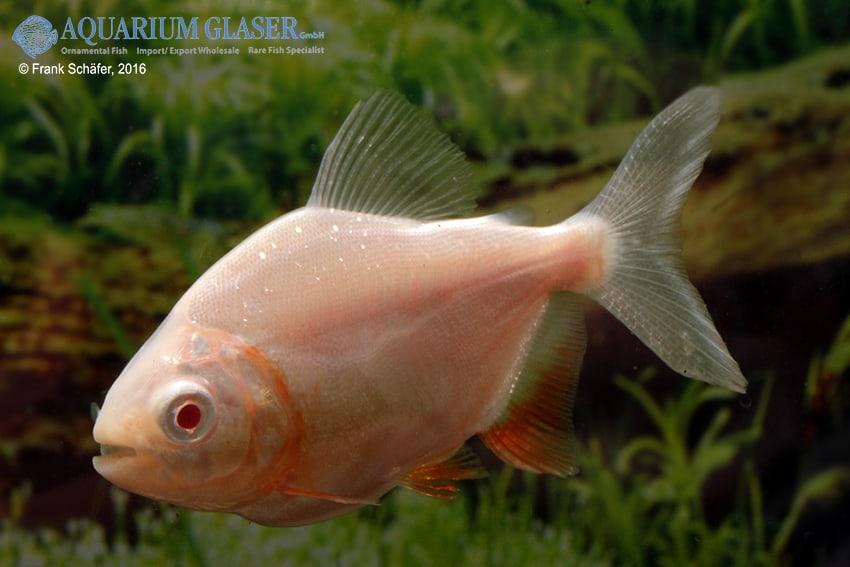 Raritäten & Neuimporte im Fokus 216 *Große Fische Spezial* 12
