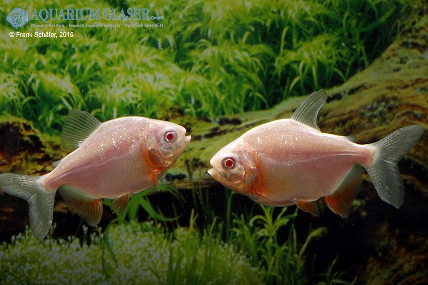 Raritäten & Neuimporte im Fokus 216 *Große Fische Spezial* 10