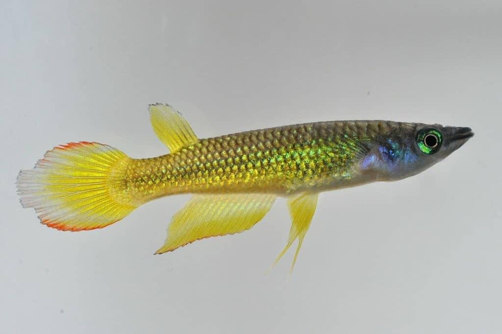 Aplocheilus lineatus - Streifenhechtling 2