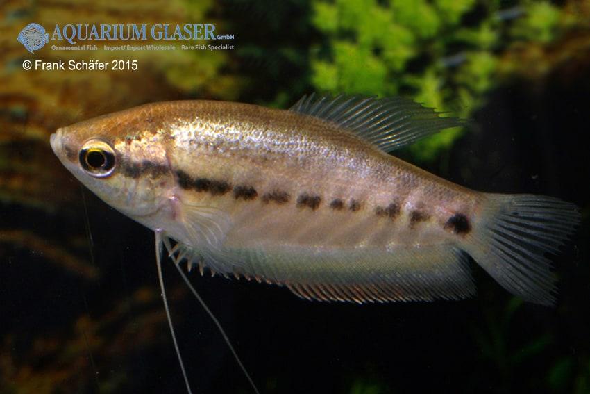 Trichogaster pectoralis - Schlangenhaut Fadenfisch 2