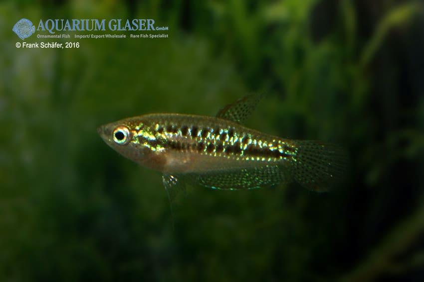 Trichopsis pumilus - Knurrender Zwerggurami 6