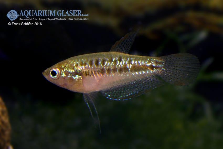 Trichopsis pumilus - Knurrender Zwerggurami 7