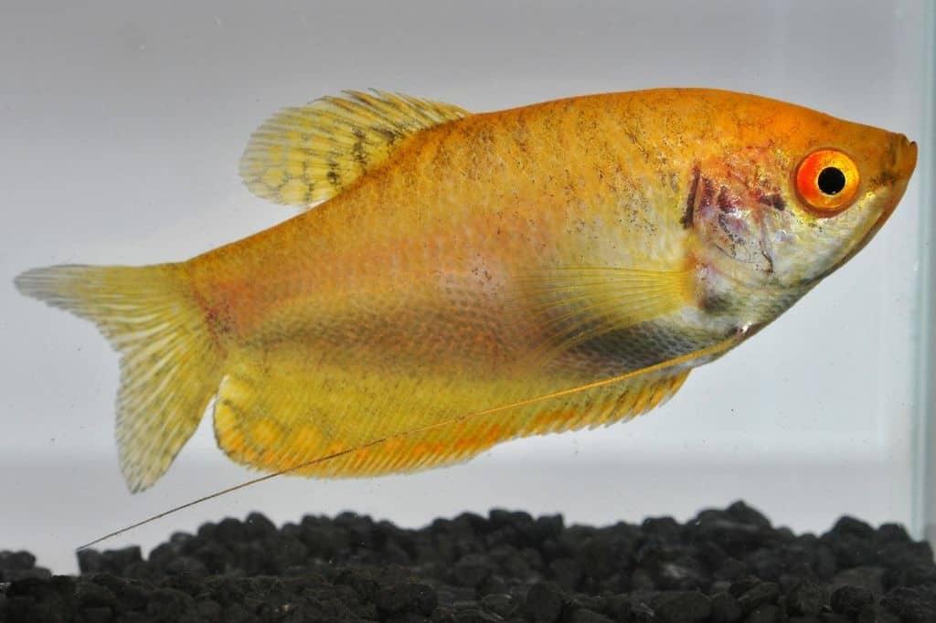 Interessante Aquarienbewohner - Labyrinthfische 4