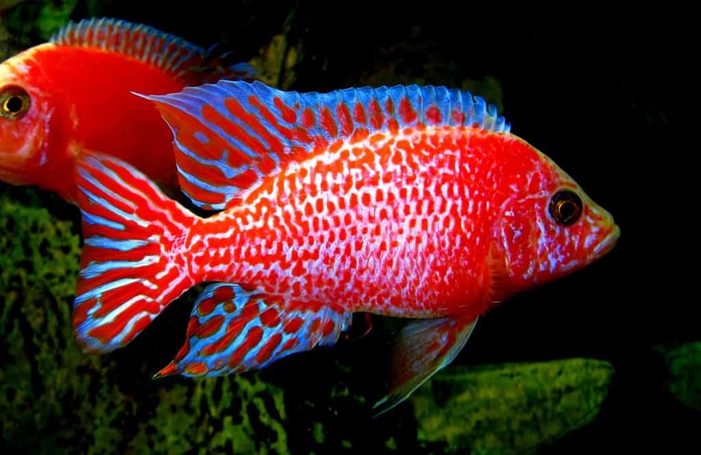 "Aulonocara seifert ""firefish"" 1"