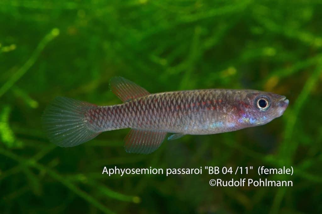 Aphyosemion-passaroi-BB04-11-W-a
