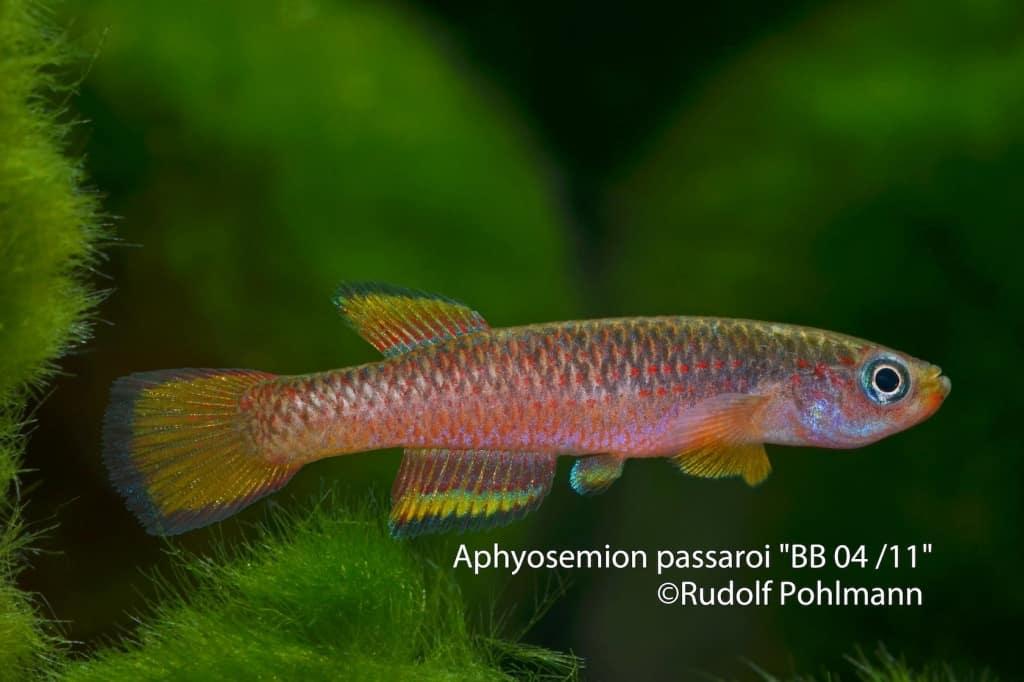 Aphyosemion passaroi – Passaroi Prachtkärpfling 2