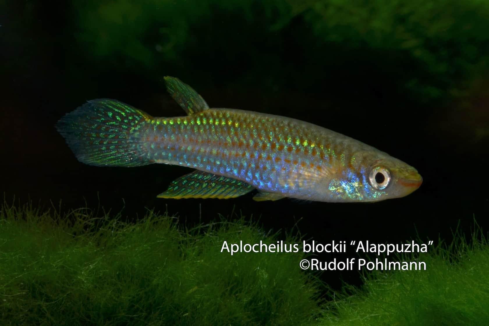Aplocheilus-blockii-Alappuzha-a