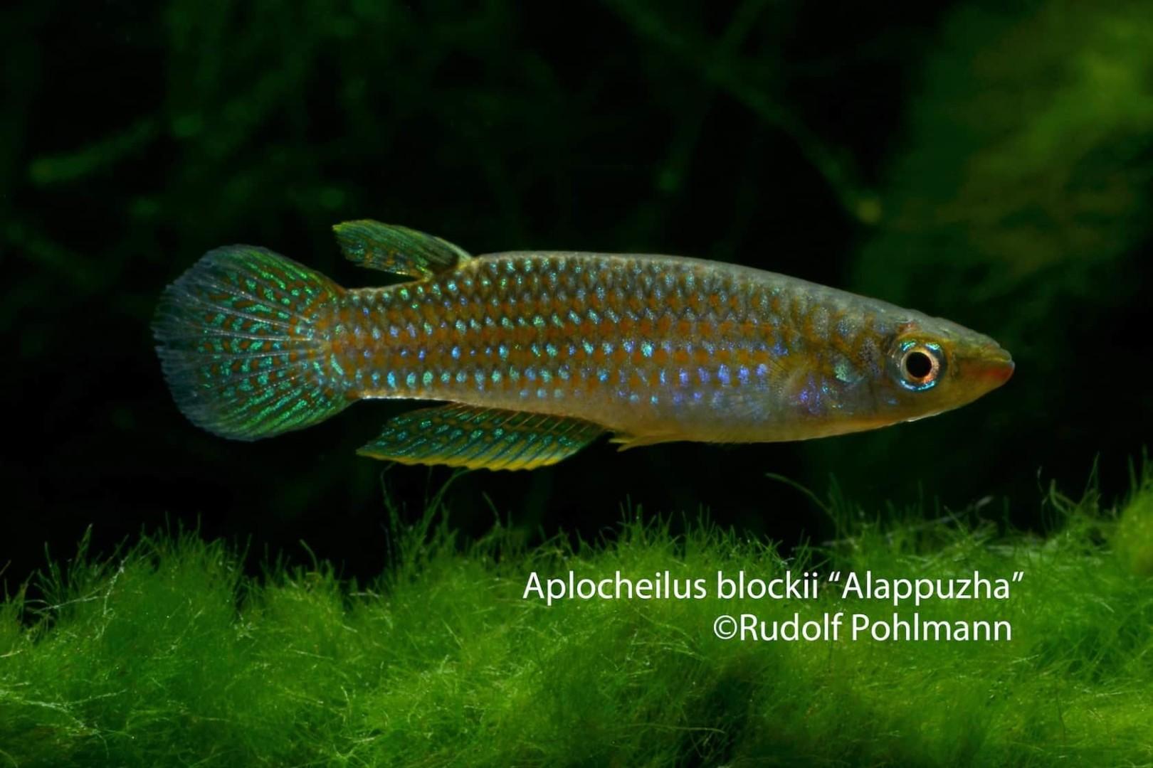 Aplocheilus blockii – Blocki Zwerghechtling 1