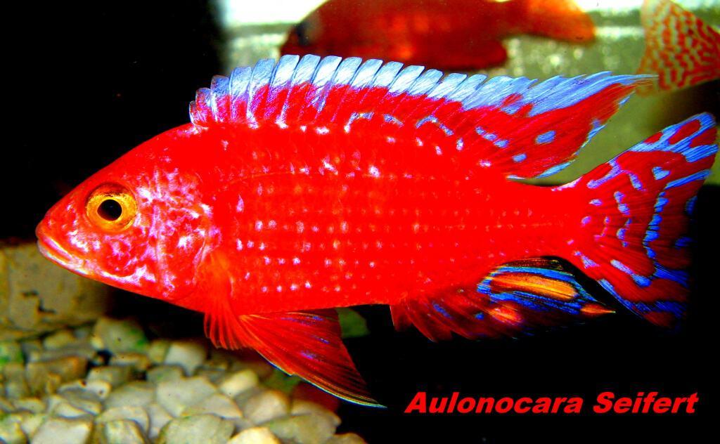 "Aulonocara seifert ""firefish"" 2"