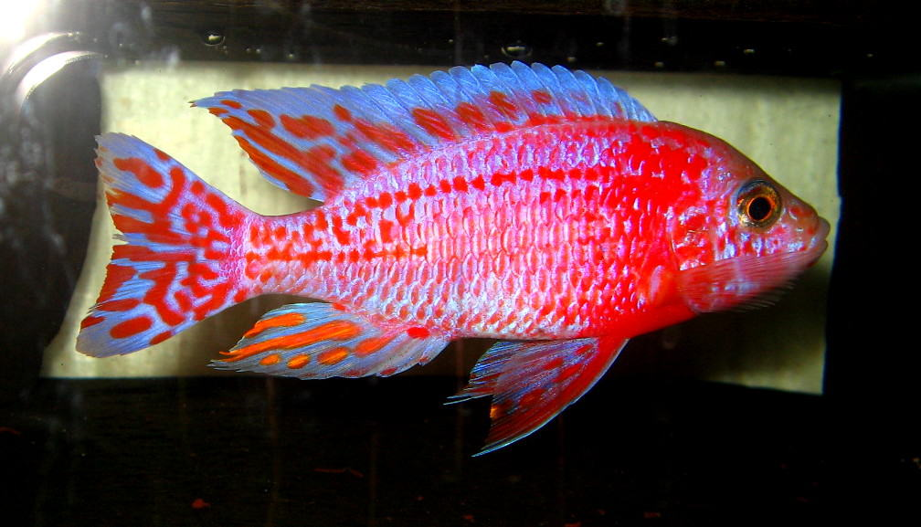 "Aulonocara seifert ""firefish"" 3"