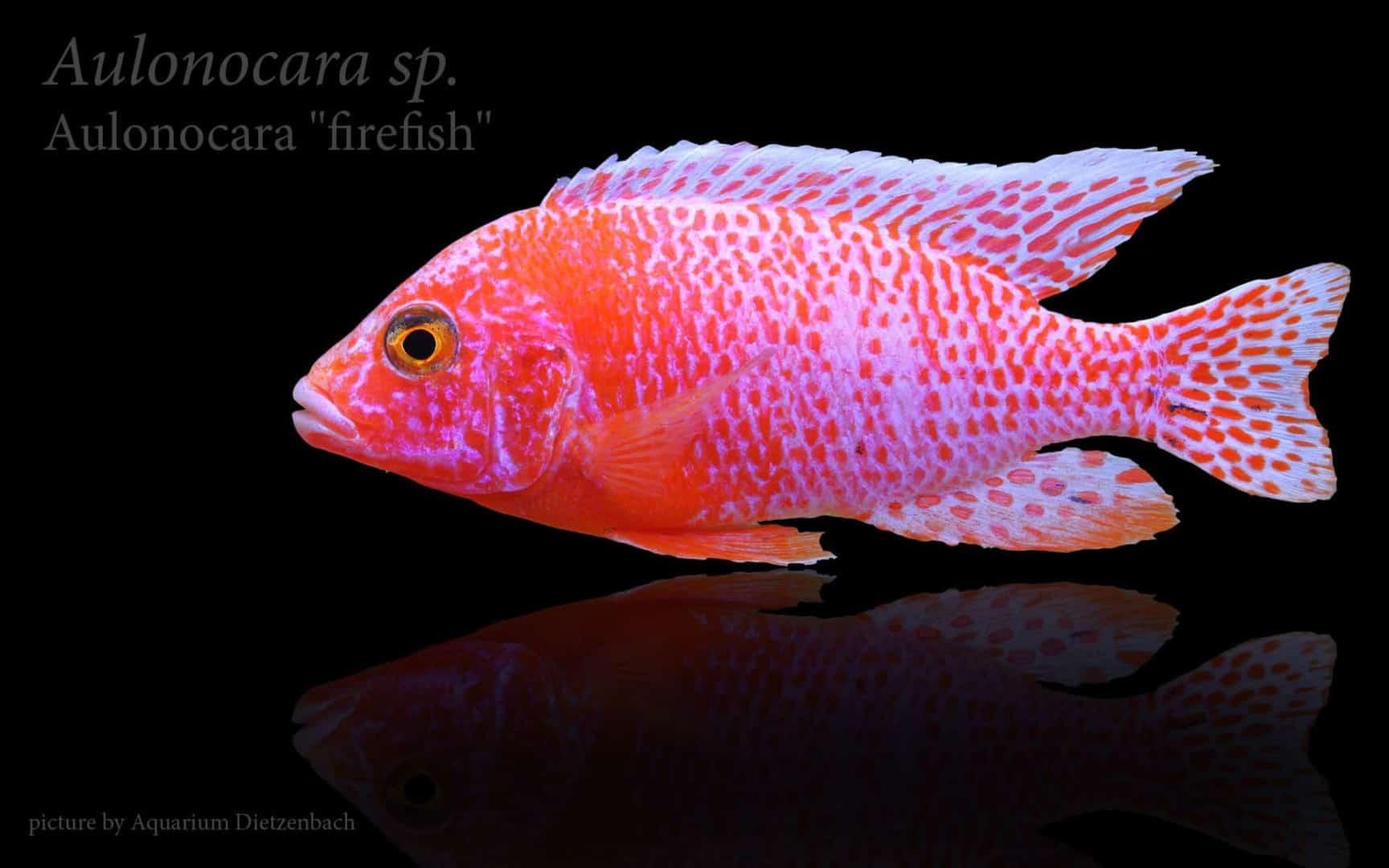 "Aulonocara seifert ""firefish"" 4"