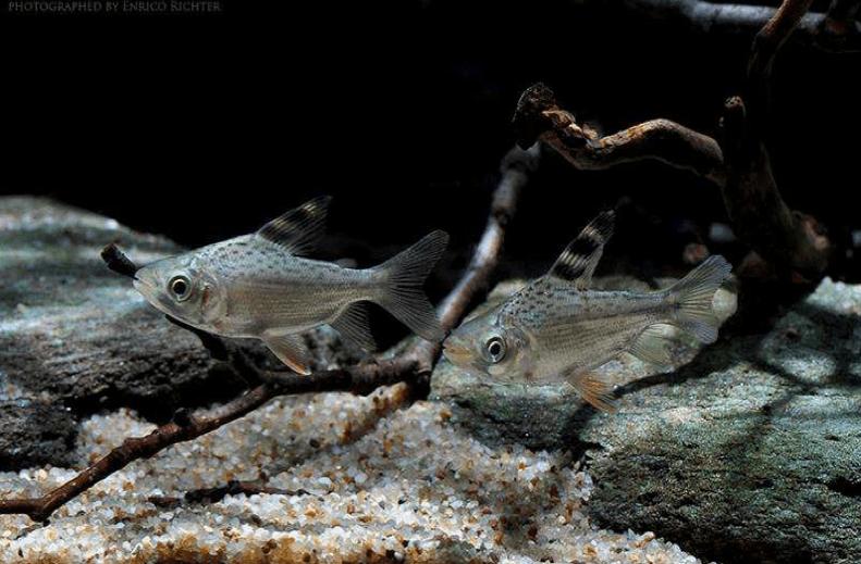 Semaprochilodus taeniurus - Schwanzstreifen-Salmler 2
