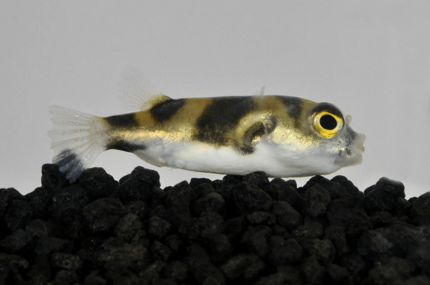 Colomesus asellus - Papagei-Kugelfisch 2