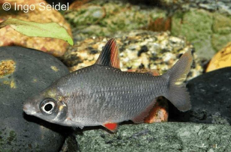 Distichodus affinis - Rotflossen-Distichodus 1