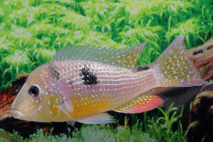 Gymnogeophagus caaguazuensis - Gelbbauch-Prachterdfresser 2