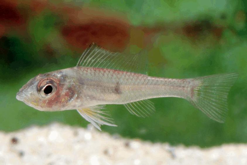 Biotoecus dicentrarchus - Zwergcichliden 2