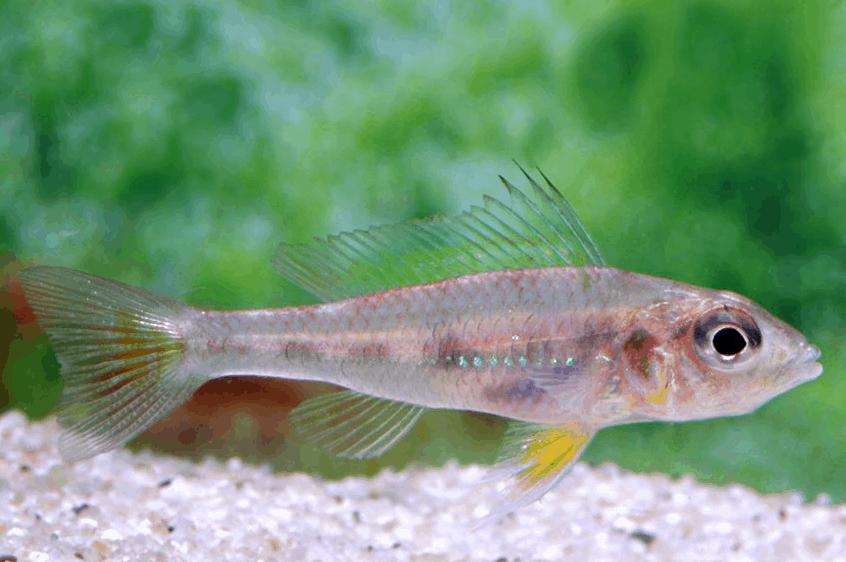 Biotoecus dicentrarchus - Zwergcichliden 1