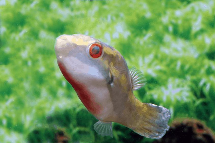 Carinotetraodon borneensis - Kugelfisch 2