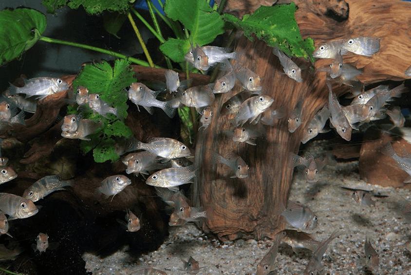 Geophagus harreri - Erdfresser 1