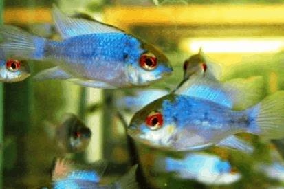 Mikrogeophagus ramirezi - Schmetterlingsbuntbarsch 18